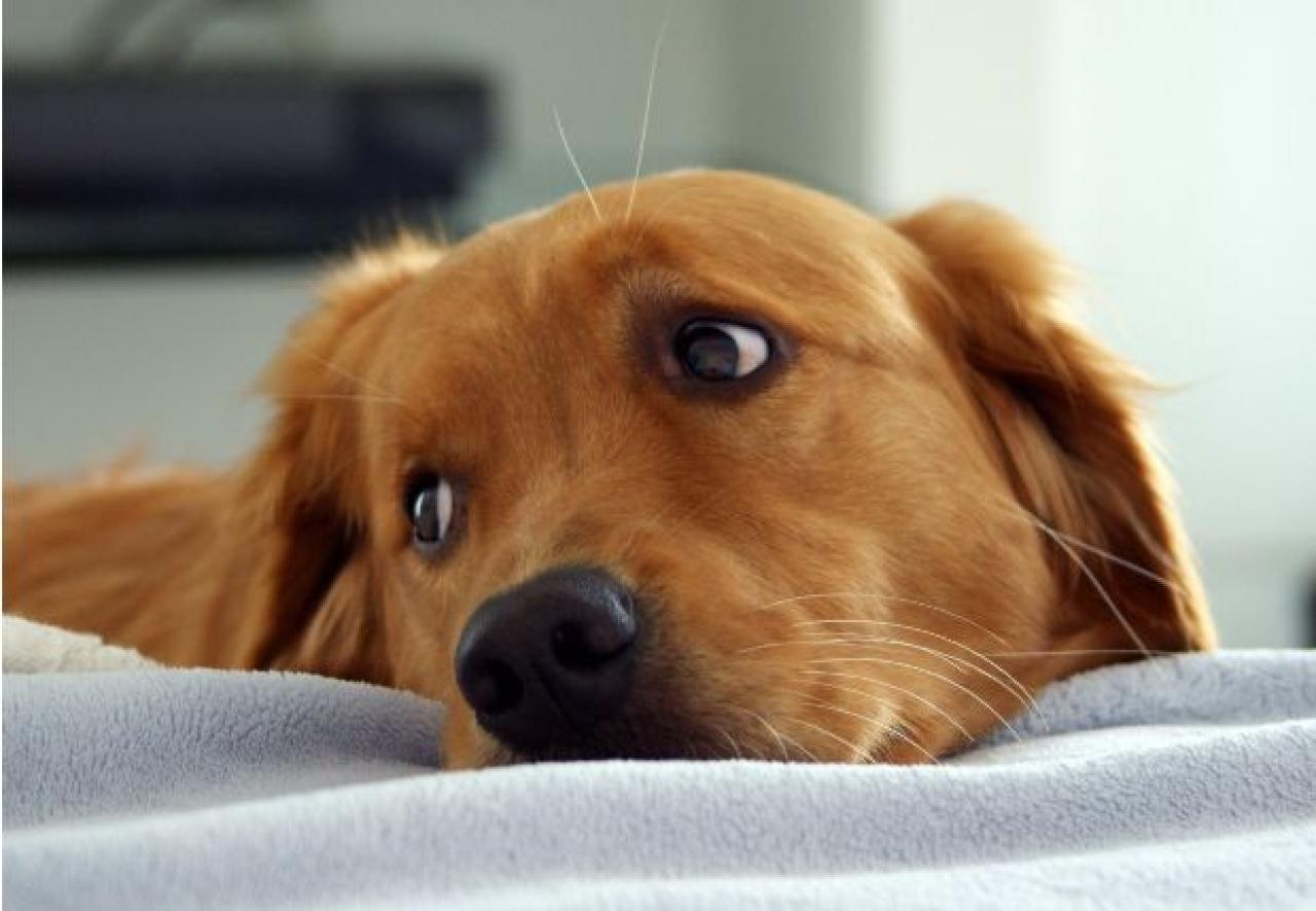 Risultati immagini per bored dog