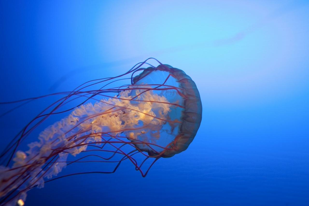 Meduse velenose la cosa migliore non entrare in acqua for Cucinare meduse