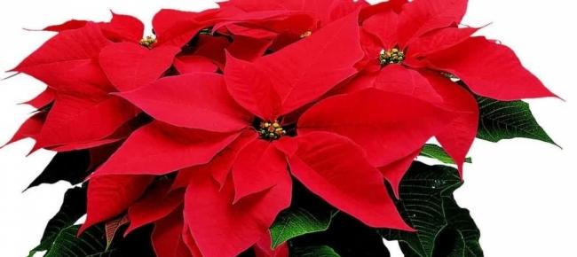 La Stella Di Natale Va Potata.In Giardino Sul Terrazzo E In Casa Stella Di Natale Salviamola