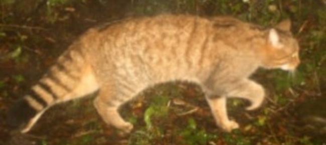 Il Gatto Selvatico Colonizza Nuovamente I Boschi Del Cantone