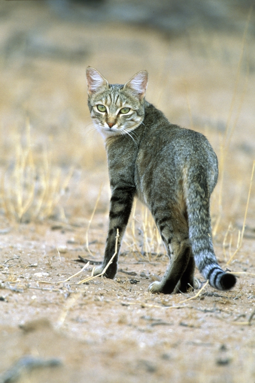 Torna In Libertà Il Gatto Selvatico Curato Al Parco Della Garenne