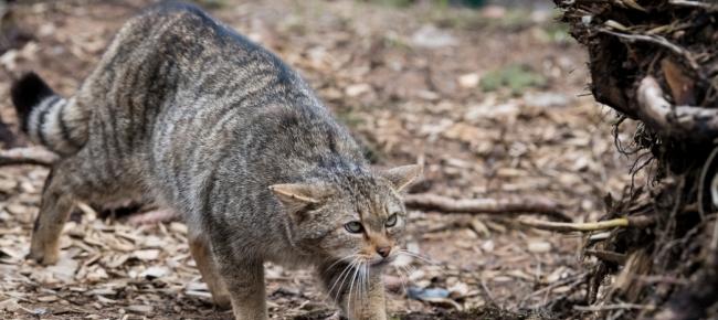 Il Gatto Selvatico è Tornato Nelle Prealpi Ticinonline