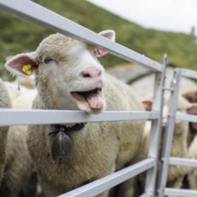 incontri pecore Murdoc e noodle incontri