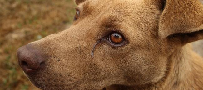 Piedino Il Cane Bionico Ticinonline