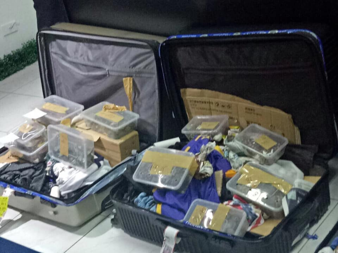 Manila, sequestrate all'aeroporto oltre 1.500 tartarughe legate con dello scotch da pacchi